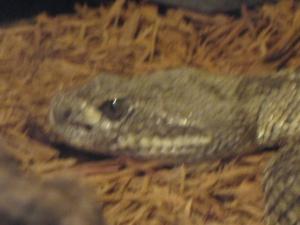 Deadly Snake