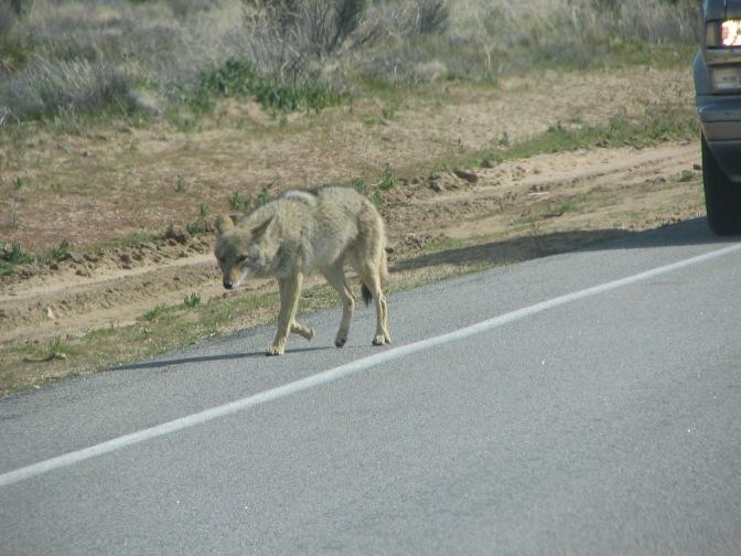Coyote, Kill My Bunnies!